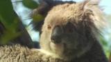 Koalas are not actually bears