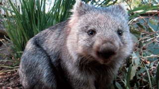 Learn more about Wombats!