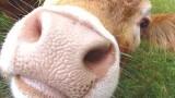 Smart Cows