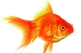 OMG! Why did this goldfish change colour?